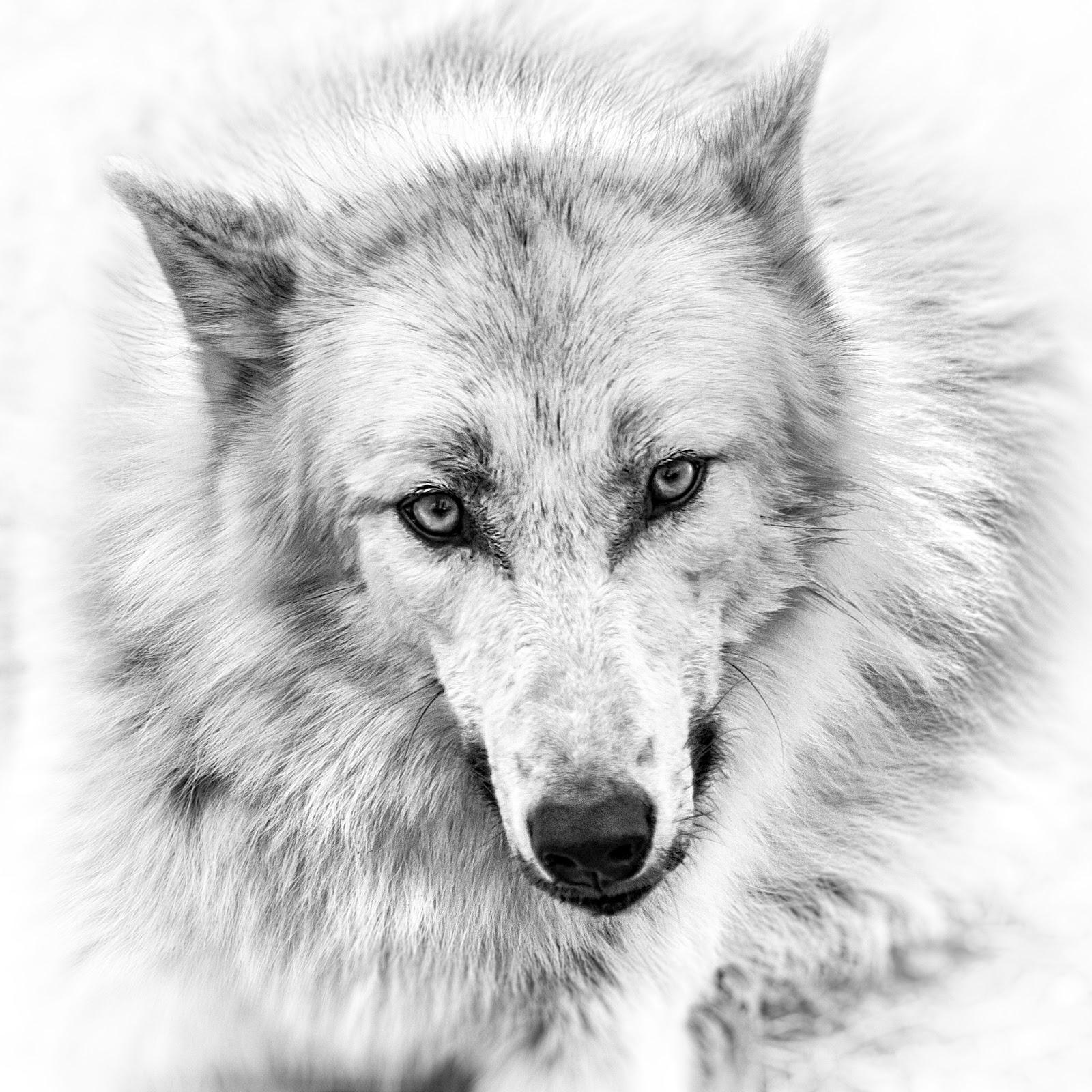 Wolf Stare Breakdown